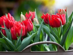 Tulipa double early Abba