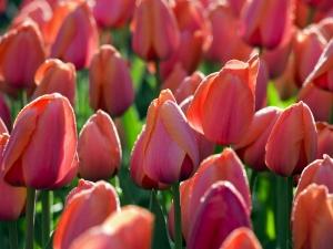 Tulipa Darwin Hybride Ad Rem