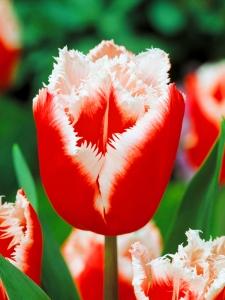 Tulipa Fringed Canasta