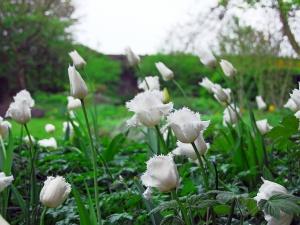 Tulipa Fringed Honeymoon