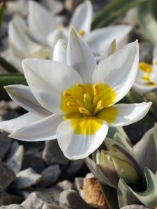 Tulipa Botanical Polychroma