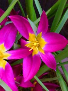 Tulipa Botanical Pulchella Eastern Star
