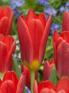 Tulipa Fosteriana Border Collection